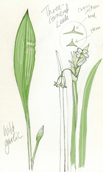 Wild garlic Illosmall