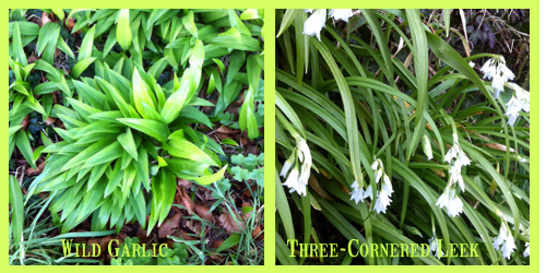 WildGarlic threeCorneredLeek
