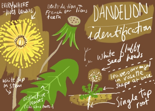 Dandelion_ID
