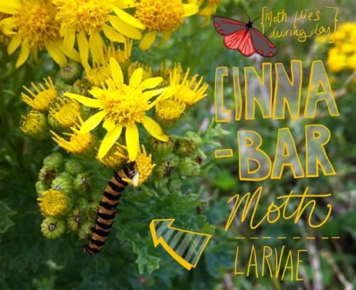 Cinnabar_Moth_ragwort