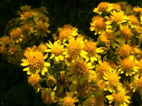 Ragwort_Flowers